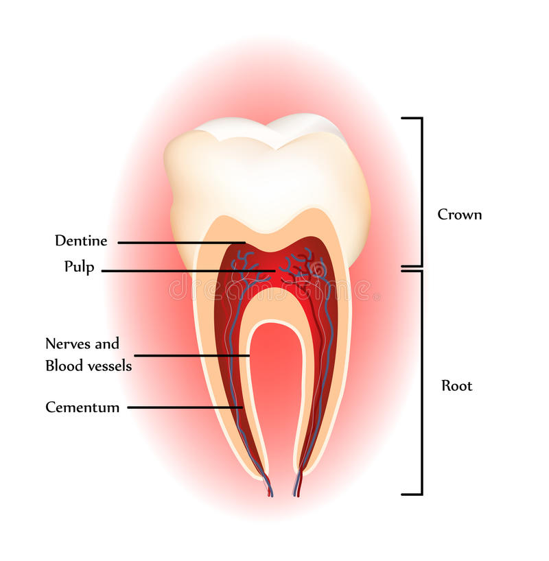 Teeth anatomy royalty free stock image