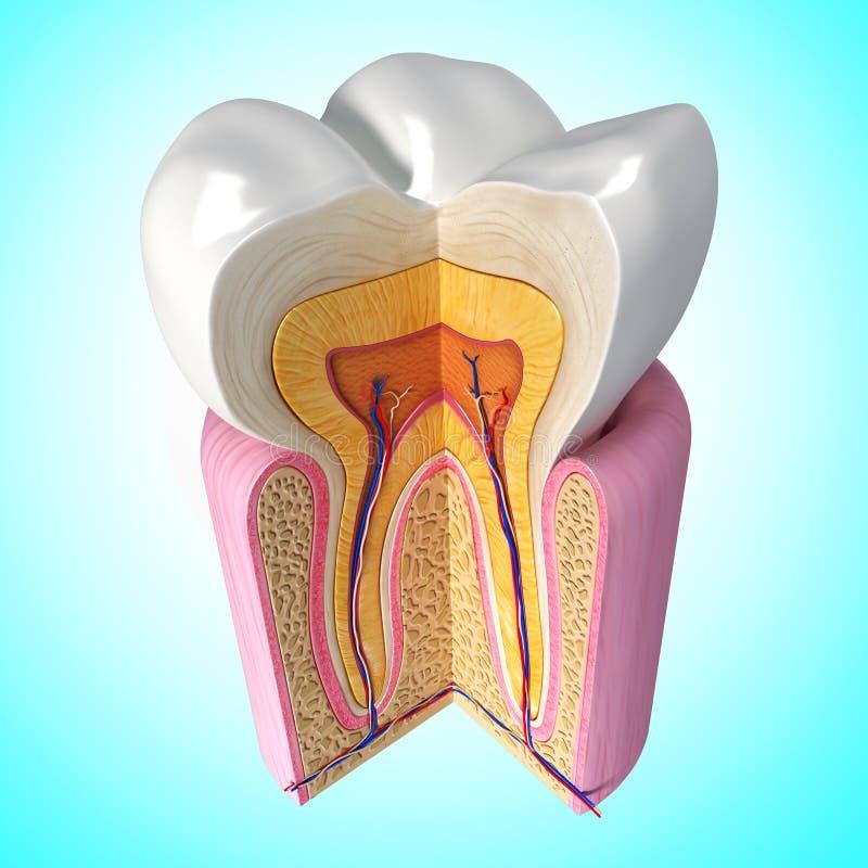 Teeth anatomy stock illustration. Illustration of illustration ...