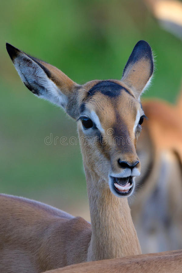 Teeth. Impala lambs displaying teeth in Kruger National Park, South Africa stock photos