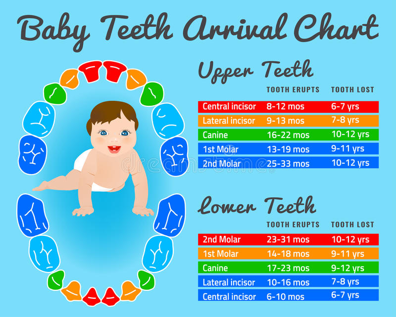 download teeth infographic vector stock vector illustration of dentistry 70405815