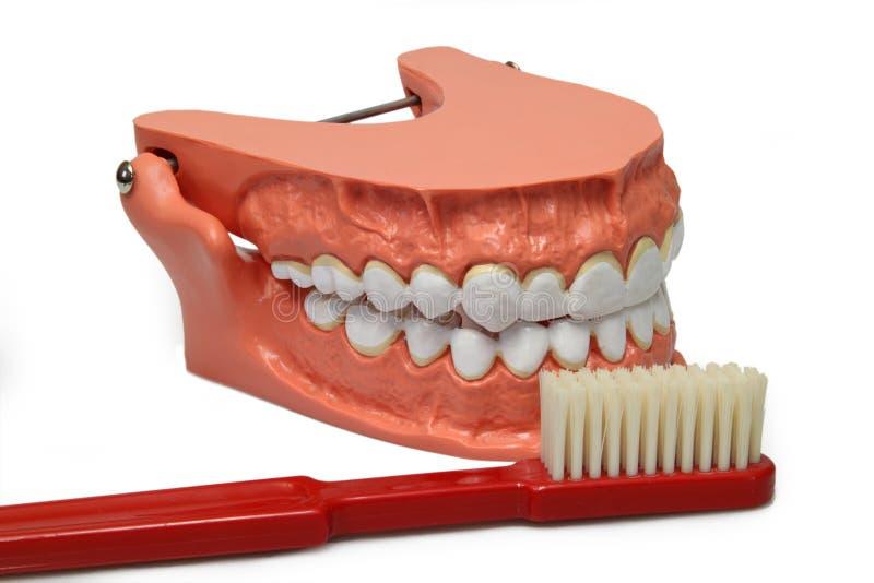 Teeth model royalty free stock image
