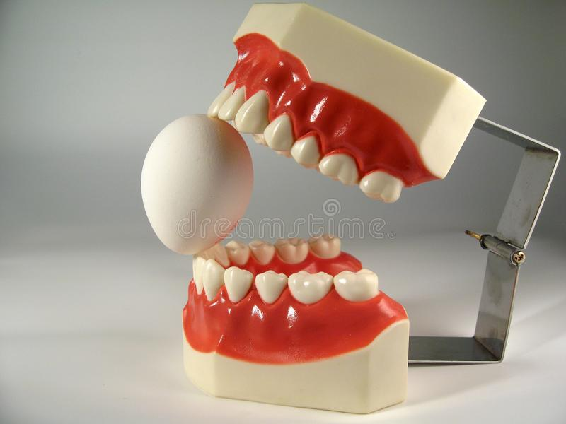 Teeth model royalty free stock photos