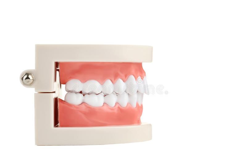 Teeth model. Isolated on white background royalty free stock images