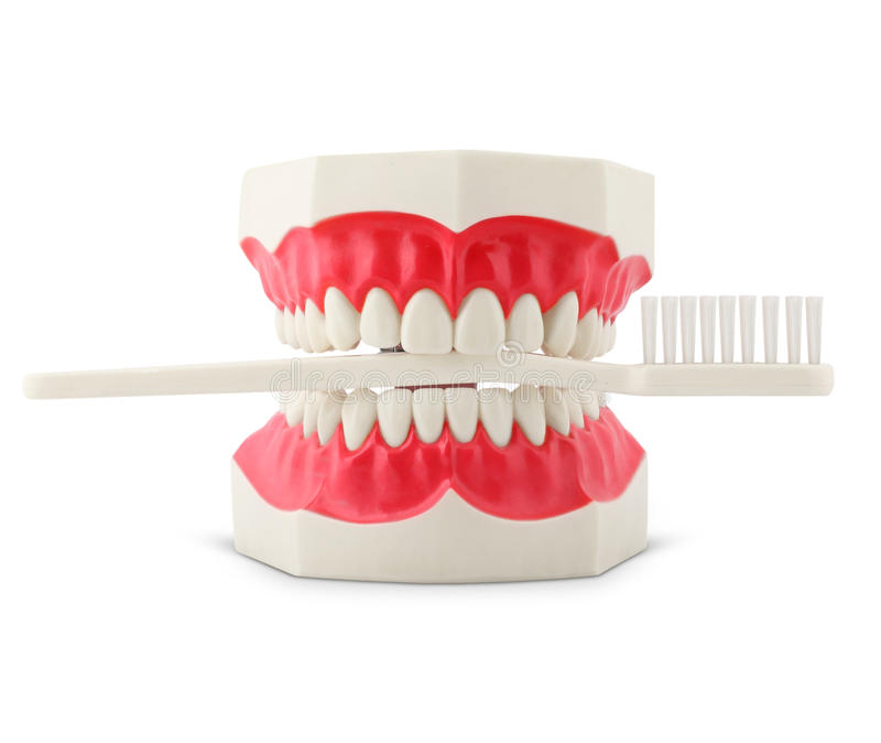 Download Teeth Model With Toothbrush Stock Image - Image: 23204879