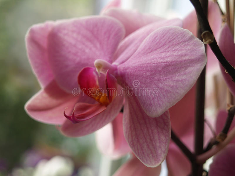 Teeth of orchid. Closeup of a purple orchid style stock image