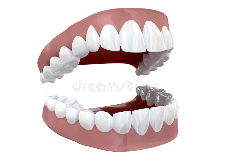 Teeth Set Open Isolated. Seperated upper and lower sets of human teeth set in gums on an isolated background stock illustration