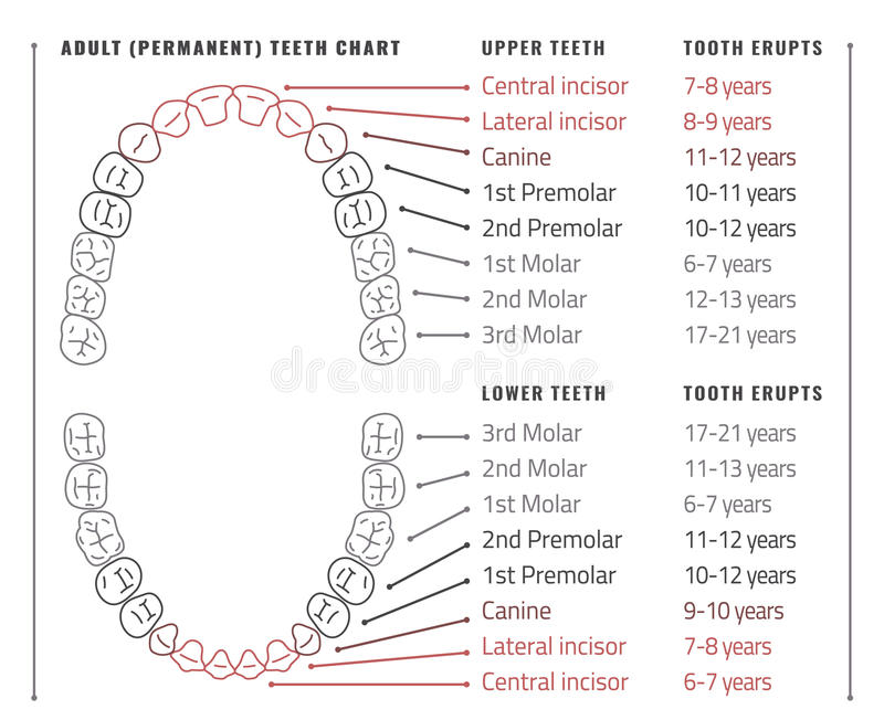 Tooth chart seatledavidjoel tooth chart ccuart Image collections