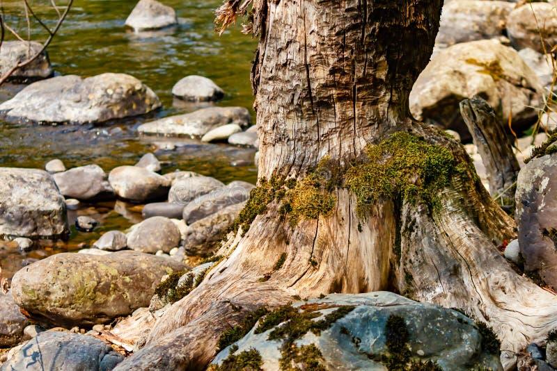 Teethmarks da sinistra del castoro sul tronco di albero vicino ad acqua del fiume immagine stock libera da diritti