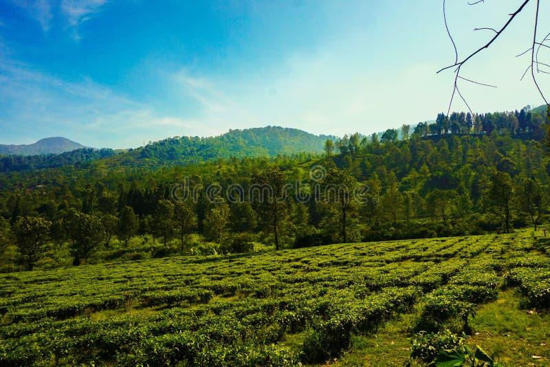Teewald oder -plantagen mit grüner Farbe und hohem Boden im puncak Bogor Indonesien lizenzfreies stockfoto