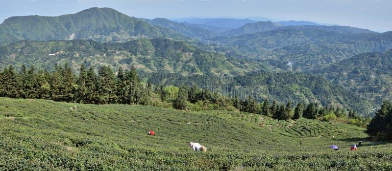 Tef?lt som ?r h?ga i bergen av det Guizhou landskapet i Kina royaltyfria bilder