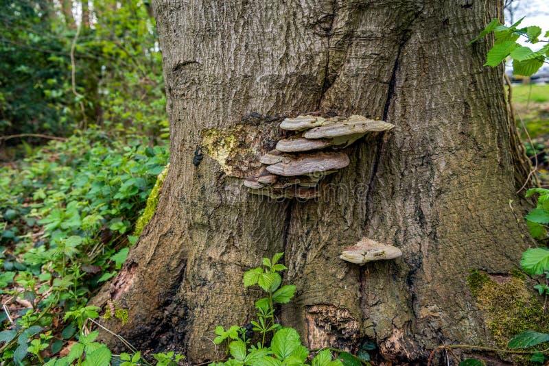 Tefat-formad svamp på skället av ett stort träd royaltyfri fotografi