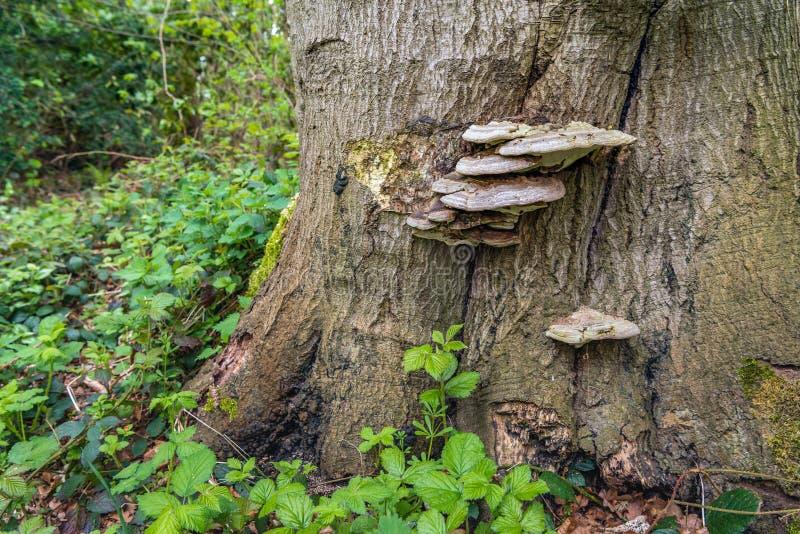 Tefat-formad svamp på skället av ett stort träd arkivbilder