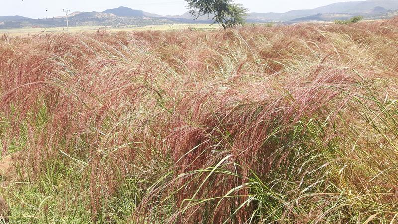 Teff crops planted in rows Hatsebo, Axum stock images