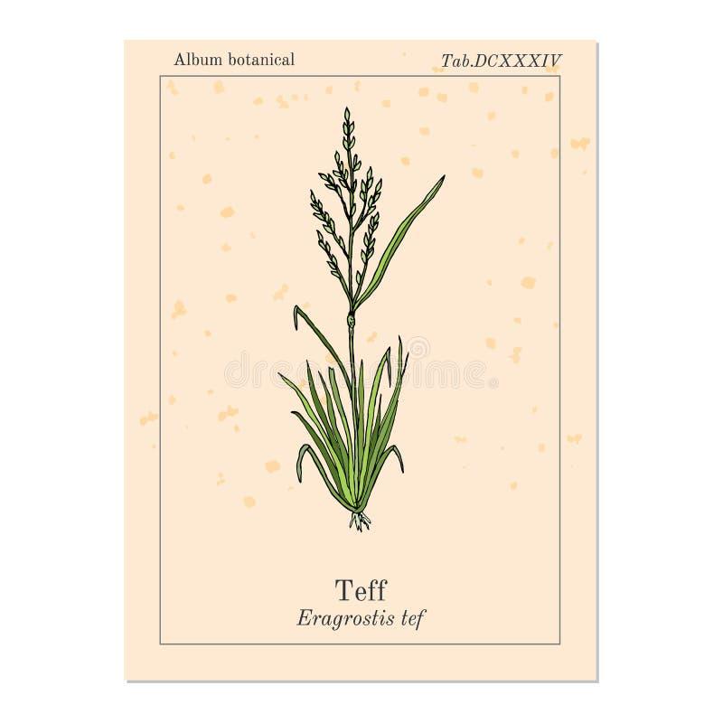Teff Eragrostis tef, Williams lovegrass lub roczna wiązki trawa, zboże uprawa ilustracji