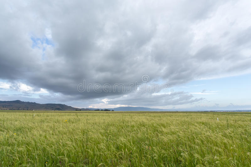 Teff Field Royalty Free Stock Photography