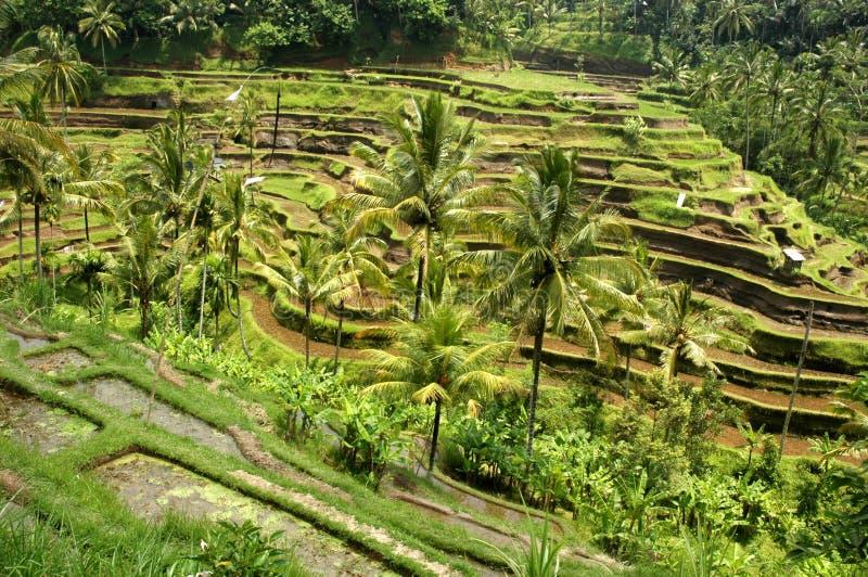 Tegalalang Reis-Terrasse stockfotografie