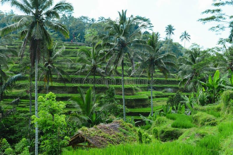 Tegalalang risterrasser, gröna djungler och stigande rök i Ubud, Bali royaltyfria bilder
