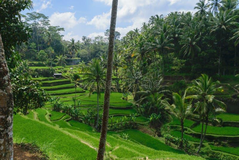 Tegalalang risterrasser, solig dag och gröna djungler i Ubud, Bali royaltyfri foto
