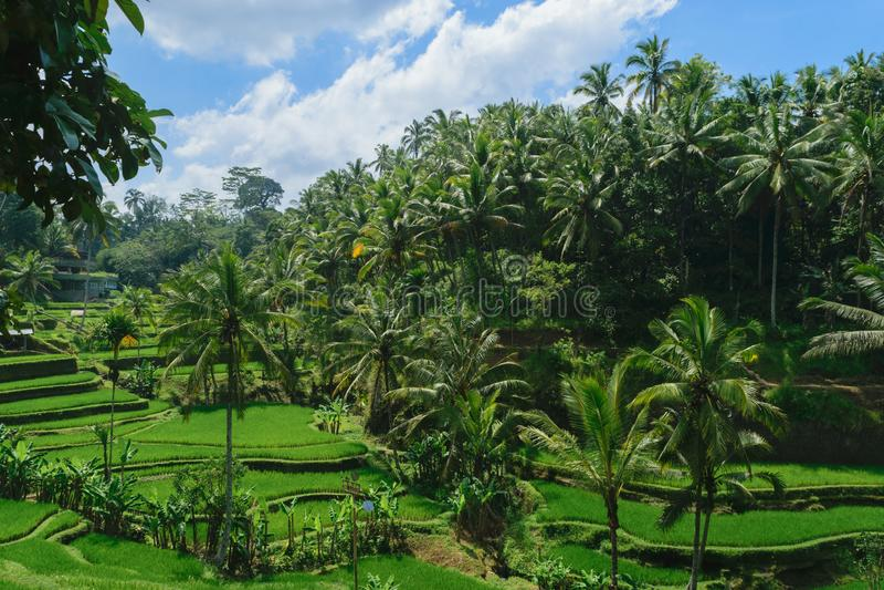 Tegalalang risterrasser, solig dag och gröna djungler i Ubud, Bali arkivbilder