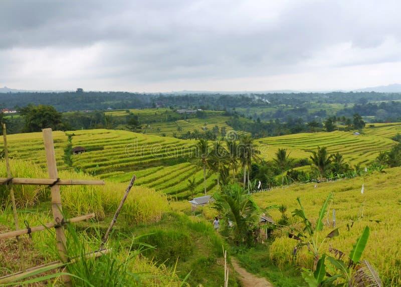 Tegalalang ryż tarasuje 2 zdjęcia royalty free