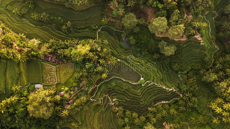 Tegallalang Rice Terraces in Bali aerial view. Tegallalang Rice Terraces in Bali. Aerial view from above in the morning stock images