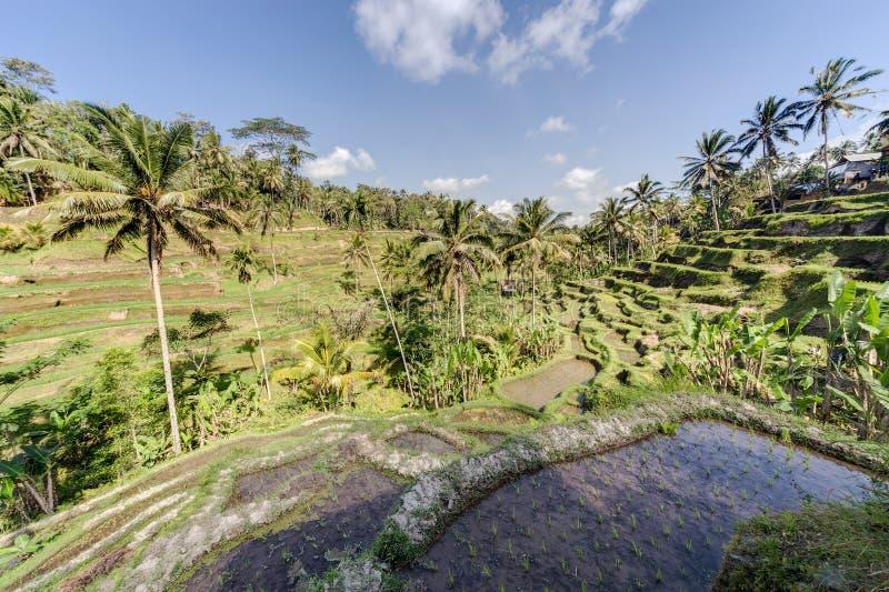 Tegallalang risterrasser i Bali, Indonesien royaltyfri fotografi