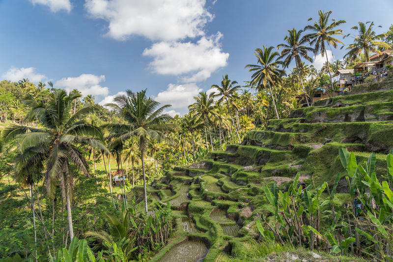 Tegallalang ryż tarasy w Bali, Indonezja zdjęcie stock