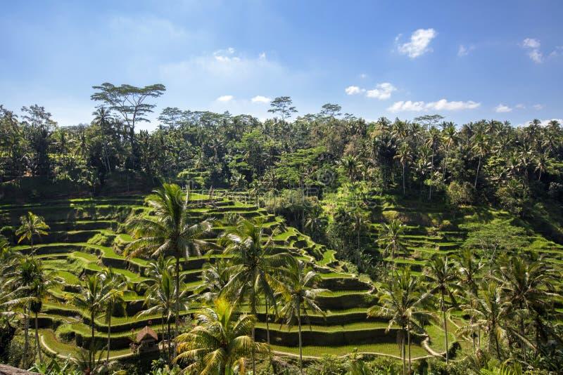 Tegallalang ryżowi tarasy, Ubud, Bali, Indonezja zdjęcie stock