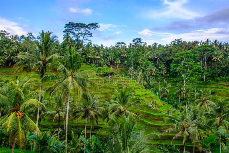 Tegallalang ryżowi tarasy, Ubud, Bali, Indonezja obraz stock