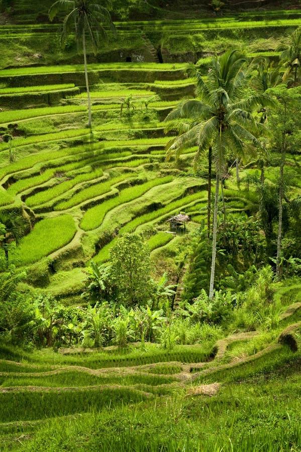 Tegallalang, terrasses de riz de Bali. photo stock