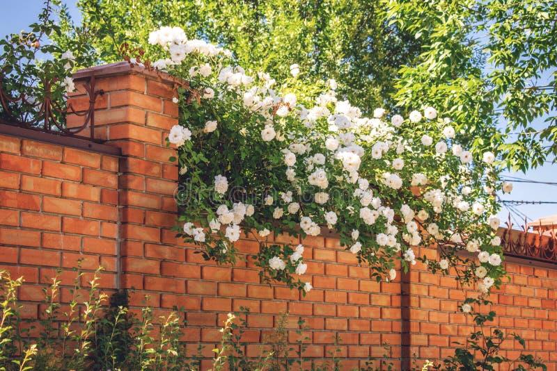 Tegelstenstaket med vita blommor Dekorativ vit rosa buske i sommarträdgård royaltyfri fotografi