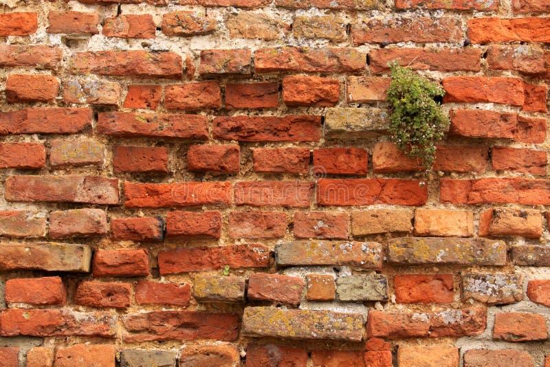 Tegelstenvägg med växten arkivbilder