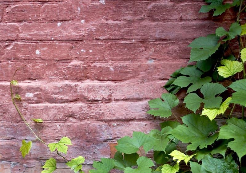 Tegelstenvägg med vines royaltyfri bild