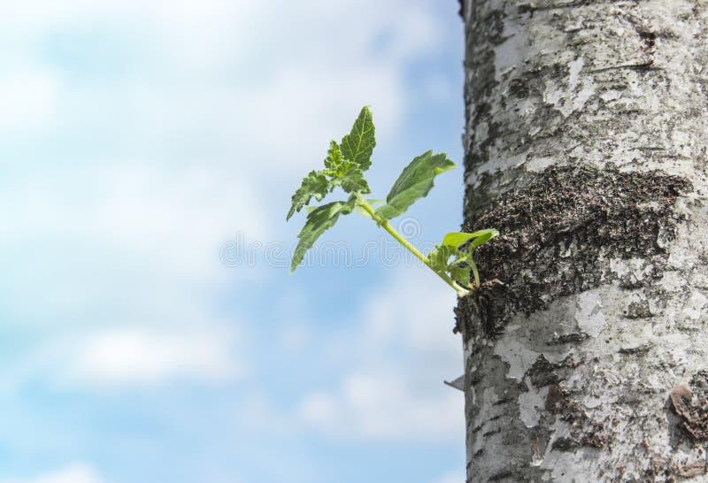 Tegen de blauwe hemel van de boomstam van een berk een kleine spruit van groene bladeren stock afbeelding