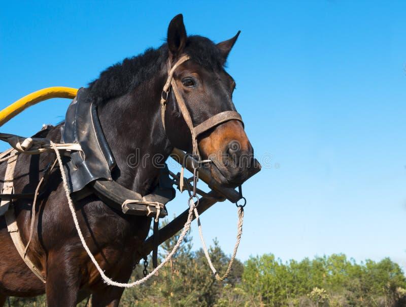 Tegen een blauwe hemel rustte het hoofd van een paard aan een kar voor een ruiterrit een de knoopteugel uit van het paardvervoer stock foto