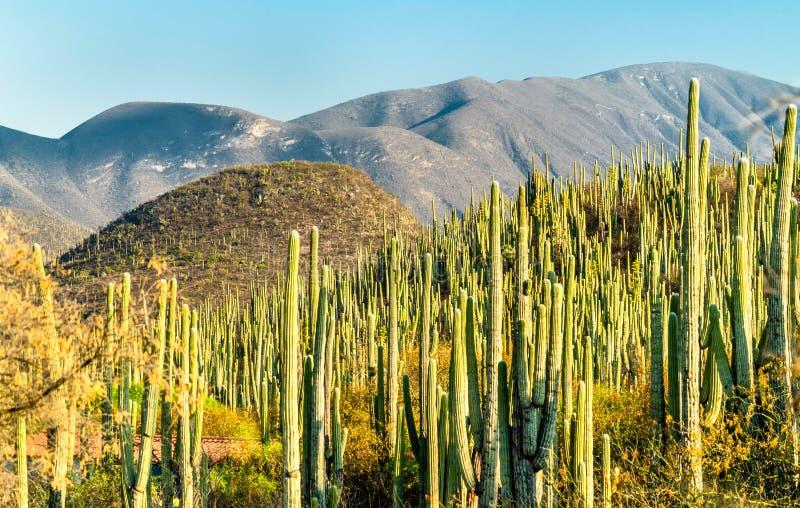 Tehuacan-Cuicatlan Biosfeerreserve in Mexico stock afbeeldingen