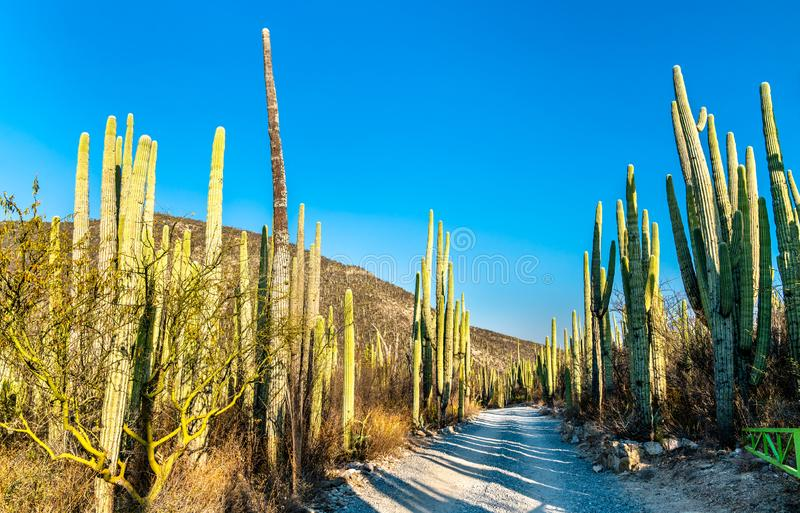 Tehuacan-Cuicatlan Biosphere Reserve in Mexico. Tehuacan-Cuicatlan Biosphere Reserve. UNESCO world heritage in Mexico royalty free stock images