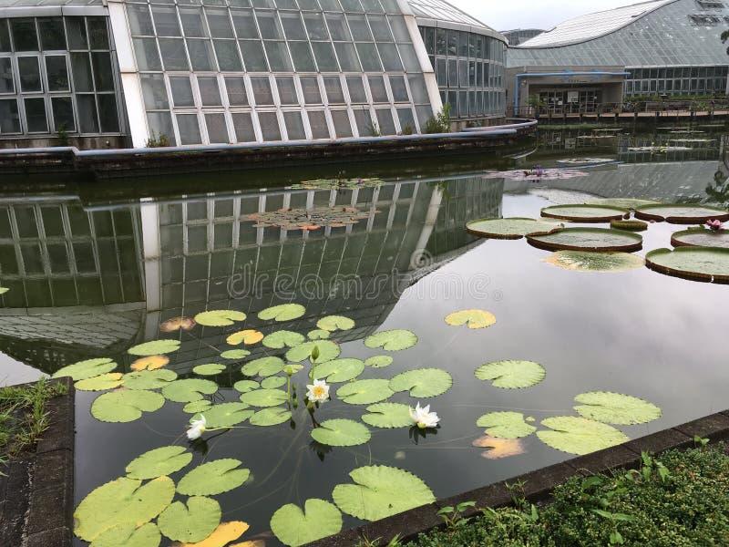 Teich des weißen Lotos im Sommer lizenzfreies stockbild