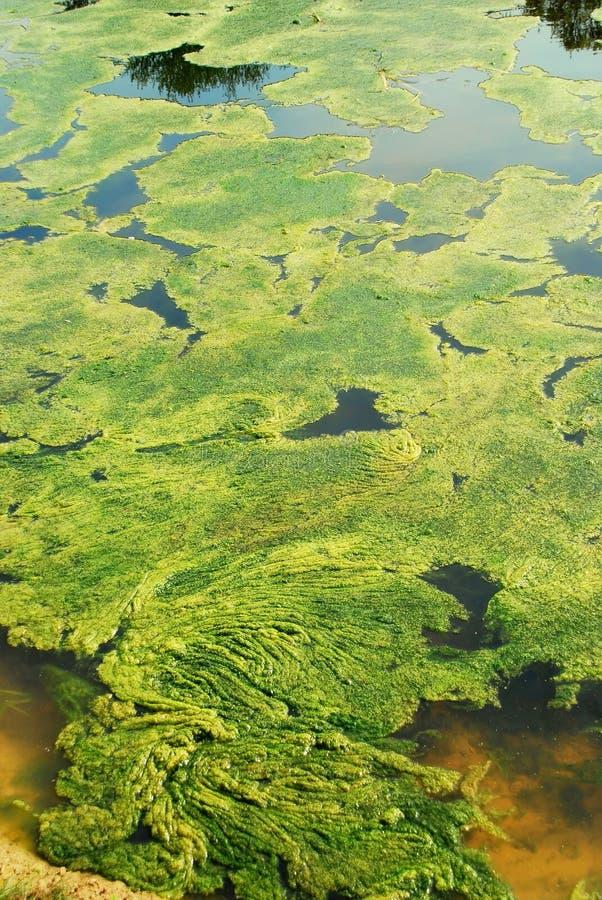 Teich mit grünen Algen stockfoto