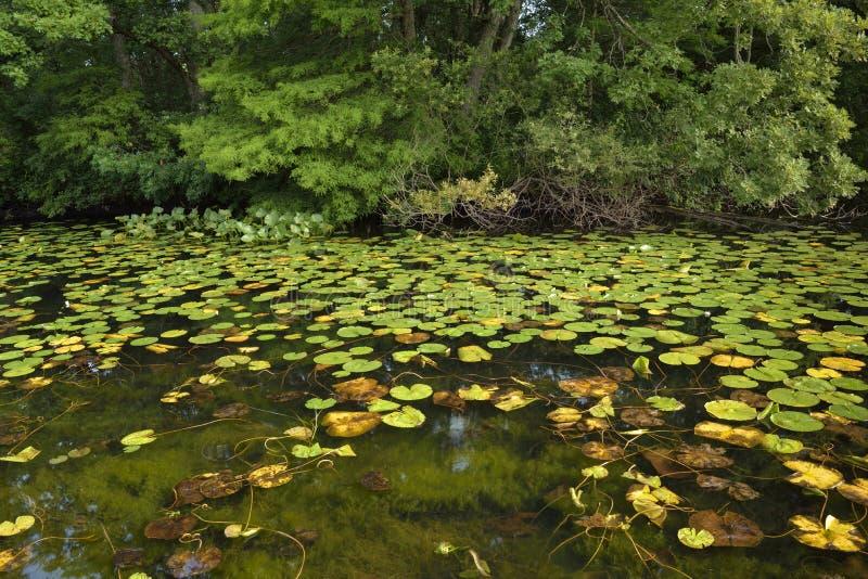 Teich mit lilly Auflagen stockfotos