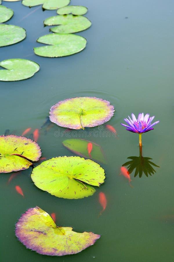 Teich mit purpurroter seerose und koi fischen stockbild for Teich mit fischen