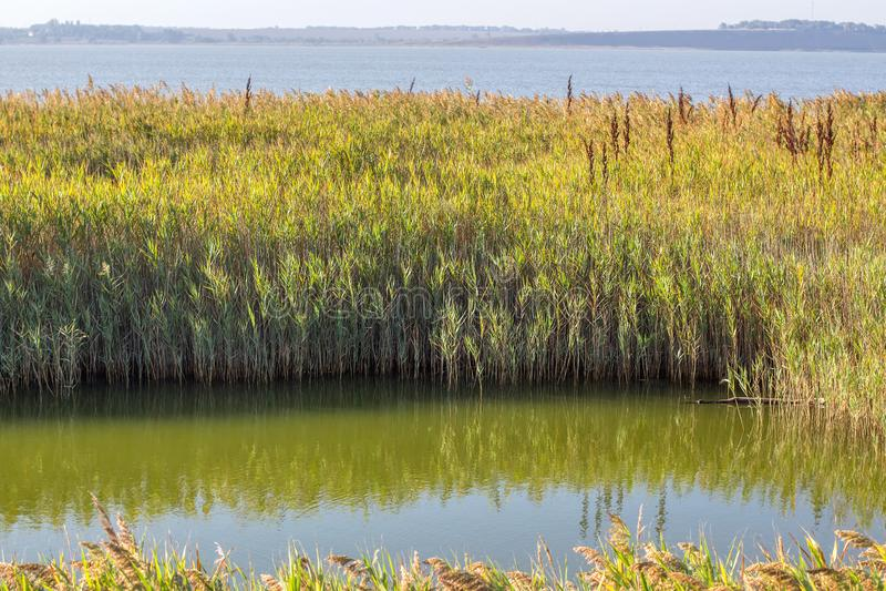 Teich mit Schilf lizenzfreies stockbild