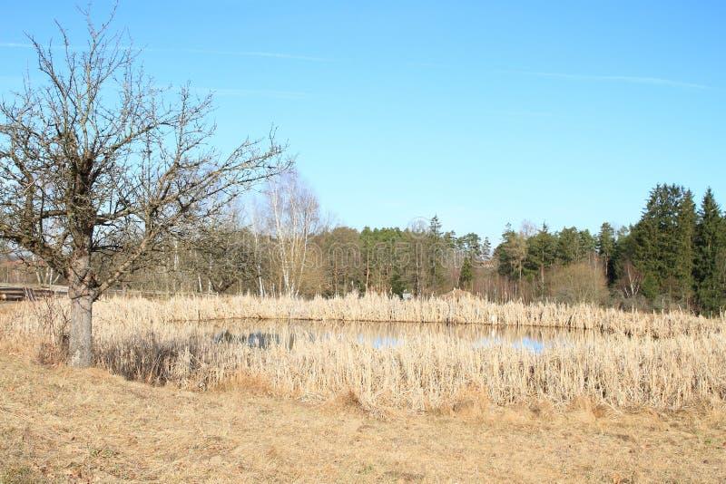 Teich mit trockenem Schilf und Baum lizenzfreies stockfoto