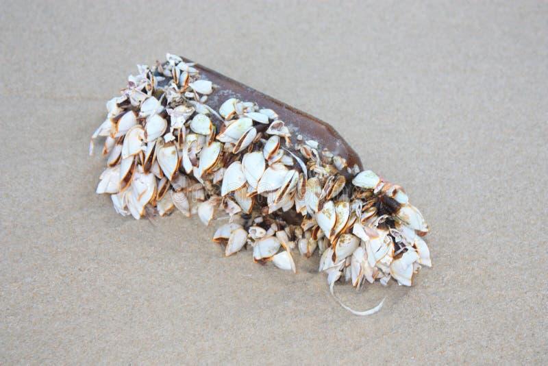 Teichmuscheln auf der Glasflasche Gruppe von Miesmuschelrankenfu?krebsen auf einem St?ck der Flasche im Sand am Seestrand lizenzfreies stockfoto