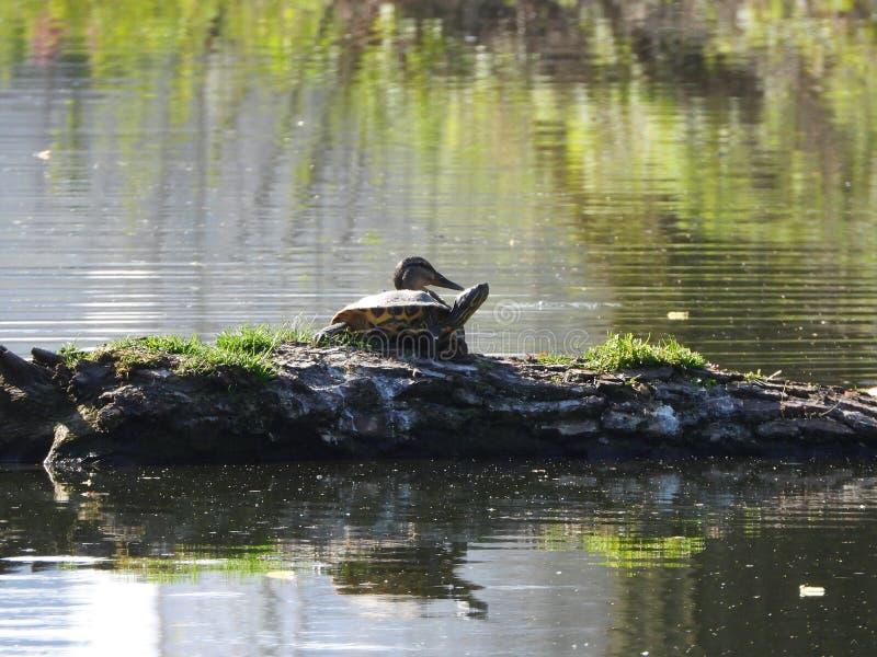 Teichtiere Schildkröte und Ente stockbilder