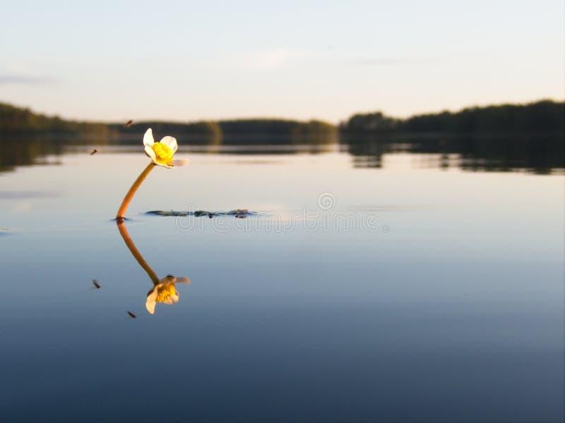 Teichwasserhahnenfußblume am ruhigen See stockbilder