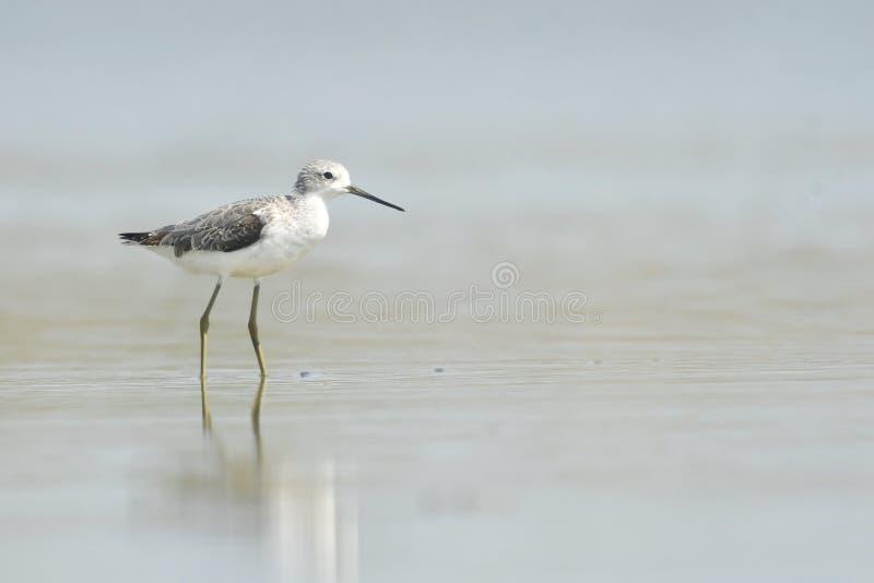 Teichwasserläufer Tringa stagnatilis lizenzfreie stockfotos