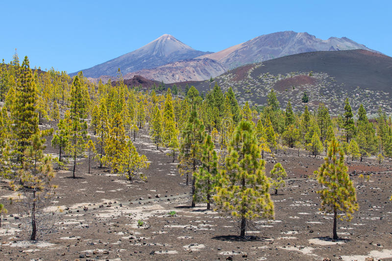 Teide. Pine trees at teide, tenerife royalty free stock images