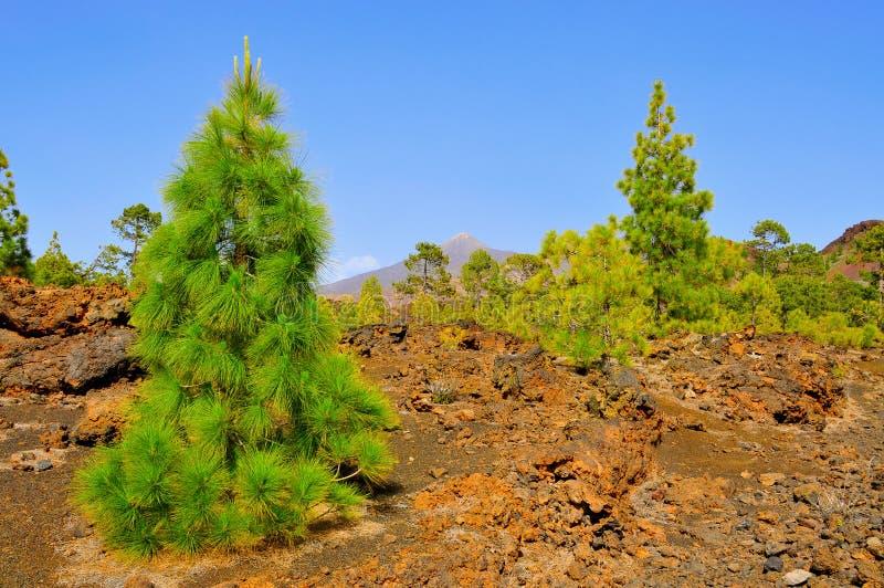 teide tenerife спы сосенки национального парка рощи стоковая фотография rf