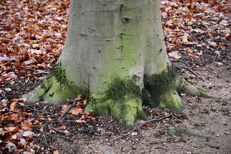 Teil der Baumwurzeln unten des Baumstammes auf dem Boden mit Herbstlaubhintergrund H?lzerner Hintergrund Grüne graue Farbbaumrind lizenzfreie stockbilder